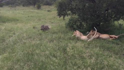 疣猪吓醒睡觉的狮子,接下来忍住别笑,疣猪:吓完就跑真刺激