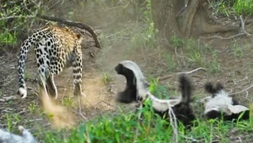 豹子作死捕食平头哥的孩子,下一秒直接被撵着打,镜头拍下全过程