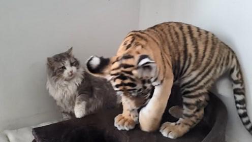 猫咪第一次见到老虎,先扇它两耳光以示问候,下一秒憋住别笑