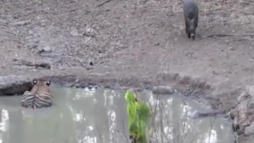 本以为老虎在水池休息,不料野猪却来喝水,实拍捕猎全过程!