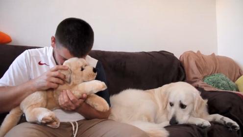 看到主人摸玩具而忽略自己,金毛假装淡定,下一秒变脸后憋住别笑