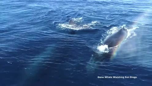 太美 十数只座头鲸游到海面的珍贵镜头