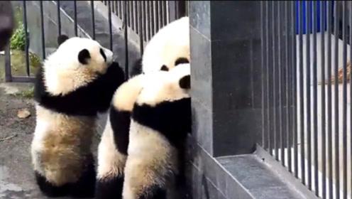 4只熊猫宝宝组团越狱,这次能成功吗?答应我看完不许笑