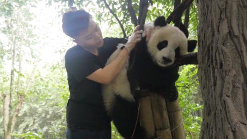 大熊猫因为太胖,结果卡在树上下不来,最后奶爸看不下去了