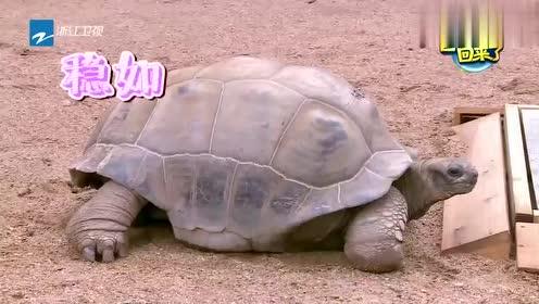 爸爸回来了:巨型龟追嗯哼,杜江:这龟想吃我儿子,原因哭笑不得