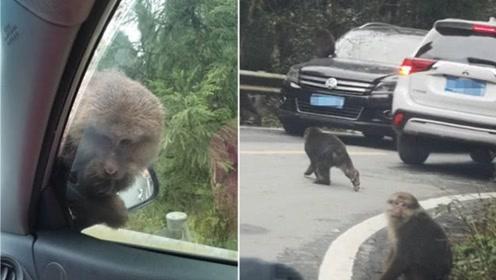 数百只野猴子下山过冬,上街拦车要吃要喝