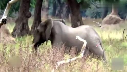 大象头顶有个洞,原来是这样发生的