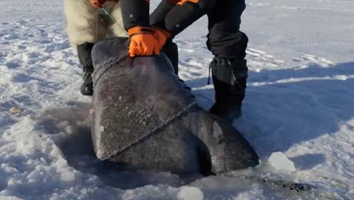 男子在冰面上钓鱼,以为鱼上钩了,拉上来一看太高兴了