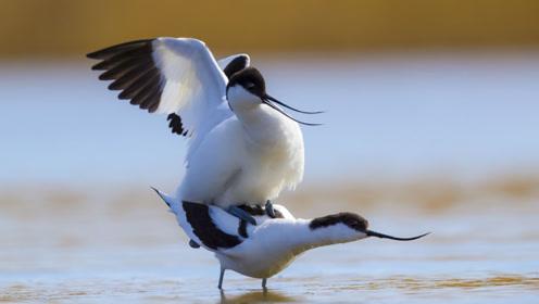 """闽江口出现一种""""嘴巴长反了""""的鸟儿,会撒网式捉鱼,遇天敌就群攻"""