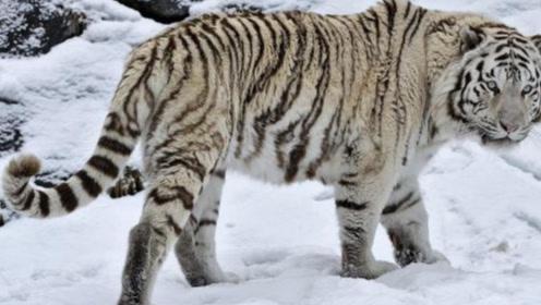 老虎一旦灭绝,后果到底有多严重?新疆的惨重教训至今历历在目