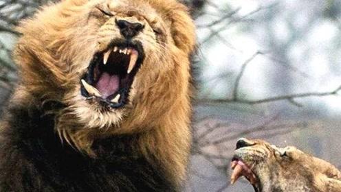 雄狮群为了让老狮王退位,联合起来这样做,狮王:我的今天就是你的明天