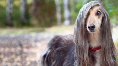 可以骑马打猎的波斯猛犬,天生的云豹杀手,却被称为凶残的天使