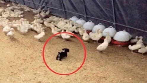 农场主捡到一只小凶狗,将其放进鸭群里后,把主人乐坏了