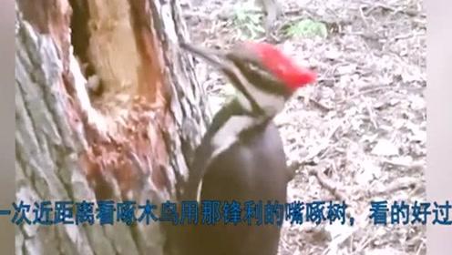 第一次近距离看,啄木鸟用那锋利的嘴啄树,速度真牛!
