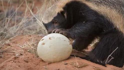 平头哥偷了一颗鸵鸟蛋,怎么都抱不起来,这可怎么吃啊?