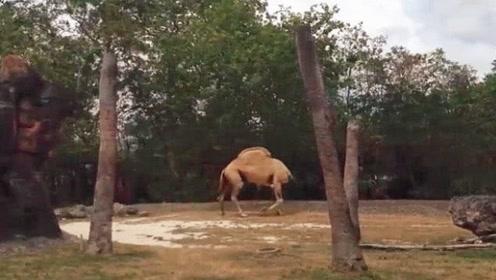 """野外惊现""""无头骆驼""""?游客当场傻眼,当它转身的瞬间憋住别笑!"""