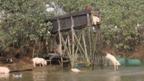 """湖南的""""悲剧猪"""",一生下来就被逼迫""""自杀"""",还吸引大批游客观看!"""