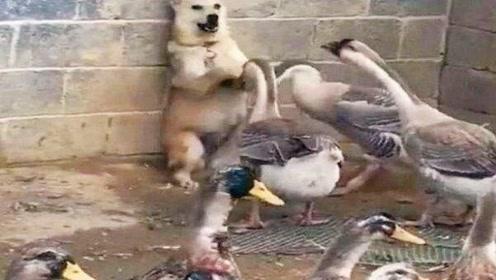 动物之间也是有友情的,小狗被鹅群轮番欺负,结尾太有爱了吧!