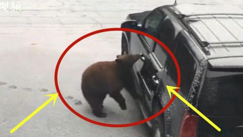 不可思议!小轿车停在家门口,不料一只熊淡定的开门上车!