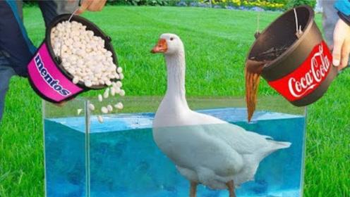 老外花样玩可乐曼妥思,最后竟把鸭子放了进去,结果太刺激!