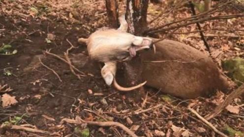 男子野外发现一头鹿,正打算出手相救,不料走近一看不对劲