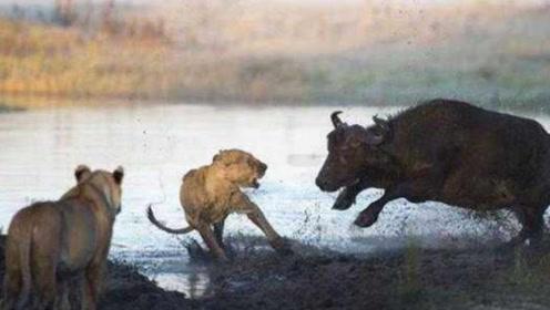 狮子捕猎小野牛,野牛妈妈瞬间发飙,结果却是这样