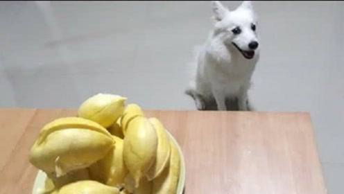 当主人喂狗狗吃下榴莲后,下一秒憋住别笑,镜头拍下全过程