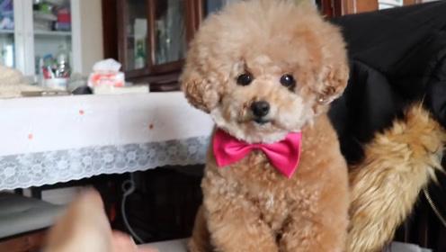 主人故意说不喜欢泰迪了,接下来小家伙的做法,真是太可爱了