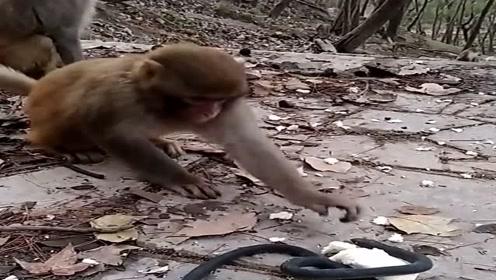 猴子超级怕蛇,在食物旁边放个绳子,它们都不敢拿了!