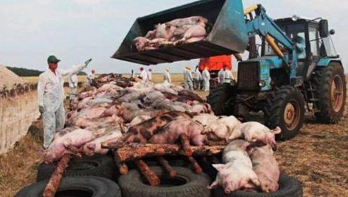美国人喜欢吃牛肉,为何农民疯狂养猪?还成了世界养猪大国