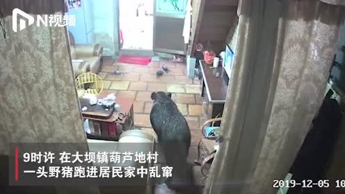 广东普宁一近300斤野猪跑进居民家中乱窜,被警方当场击毙