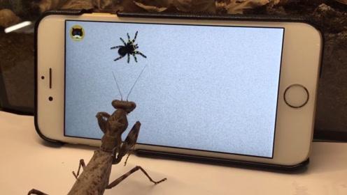 宠主给螳螂看蜘蛛视频,螳螂瞬间就不淡定了