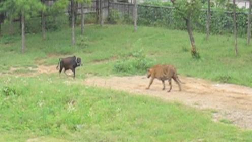 活体投喂老虎,小牛不甘心被吃,直接正面和老虎硬碰硬
