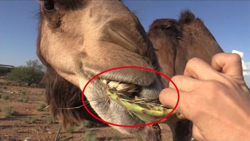 为何骆驼那么爱吃带刺的仙人掌?