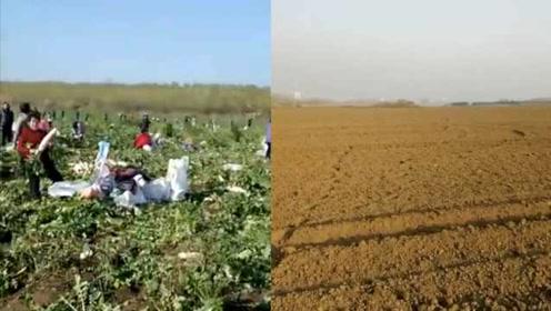 200亩萝卜遭人哄抢后:40余人主动还千元,土地种上了麦子