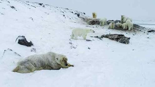 饿!60多只北极熊闯进俄罗斯村庄觅食,村民恐撤离居住地
