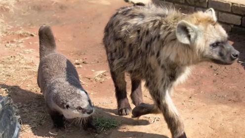 这只水獭有两个铁哥们,一只狮子一只鬣狗,交际圈可真广!