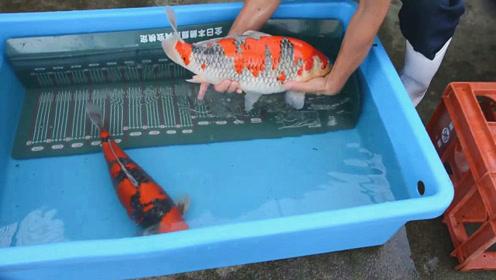 大清早捕获的两条日本锦鲤,别看它们个头小,身价还真不低!
