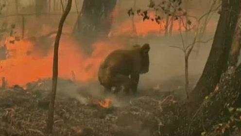澳洲丛林大火威胁国宝,两千只考拉或被烧死,栖息地被破坏