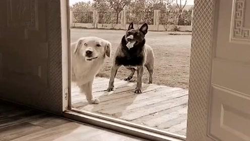 主人受不了狗狗们要离家出走,接下来狗狗的做法让人感动,真是成精了!