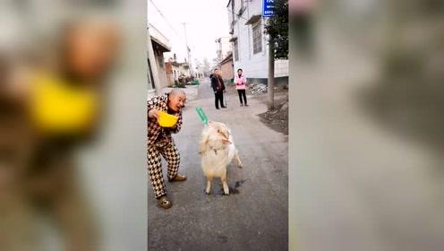 人没羊实在,这羊成精了!