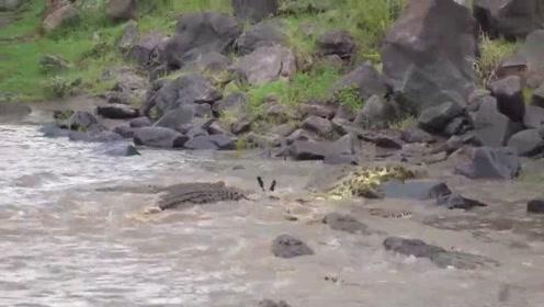 """斑马有幸体验到了鳄鱼的""""死亡大招""""的威力,马生圆满了!"""