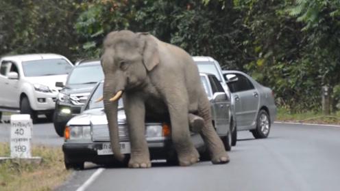 在公路上散步的大象累了,直接一屁股坐在引擎盖上,司机却哭了