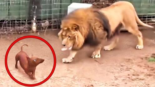狮子笼子里出现两只小狗,正当游客责怪饲养员时,感人一幕发生了