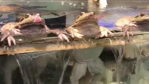 这三只青蛙真搞笑,一块趴在了鱼缸的边缘,一起在欣赏外面的世界!