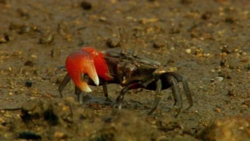一天八次变身的奇葩螃蟹,两只大螯,和身体完全不匹配