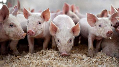 """猪价还能再次""""暴涨""""吗?答案来了,看完专家说的明白了"""