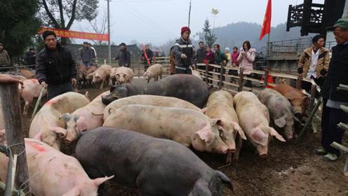 猪价起伏波动大,春节猪市还能重返20元吗?
