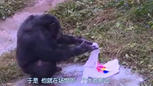 真贤惠!重庆一黑猩猩竟然爱上了洗衣服