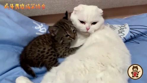 这还是凶猛的猞猁吗?天天赖在大白猫身上